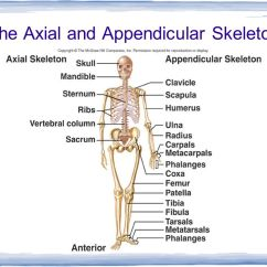 Axial Skeleton Skull Diagram Acme Transformer Chapter 32 Notes The Integumentary Skeletal And