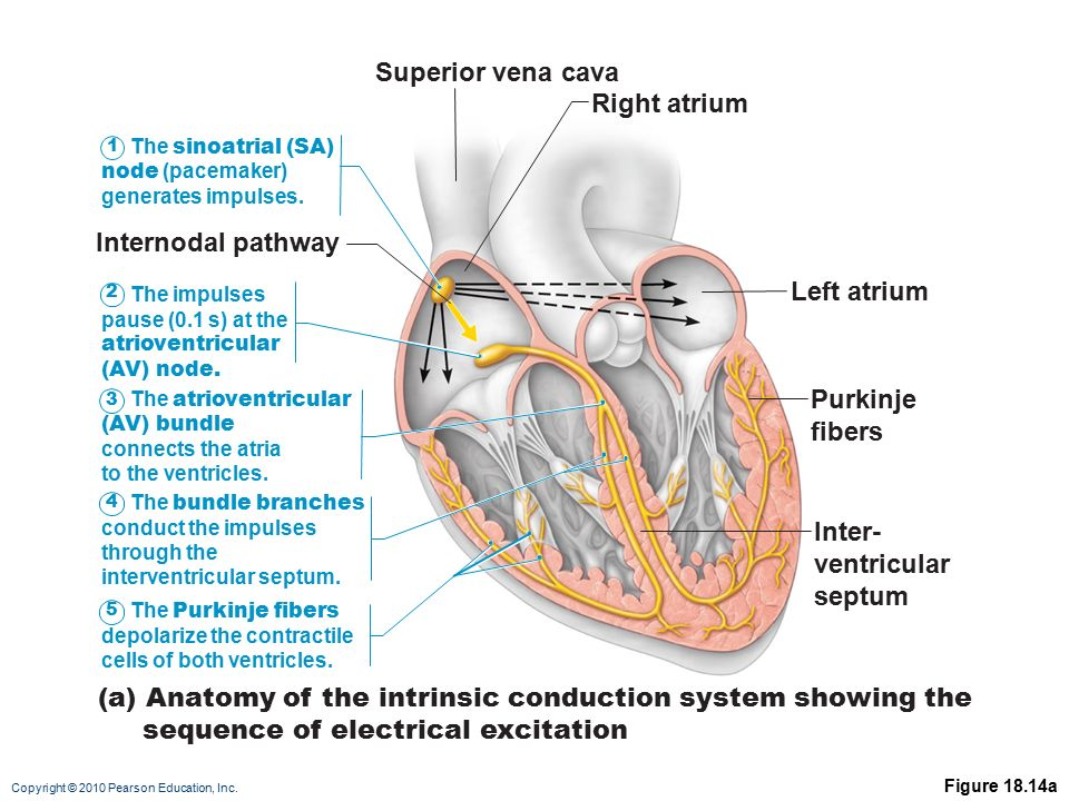 cardiac conduction system diagram typical wiring walk in cooler heart physiology: electrical events - ppt video online download
