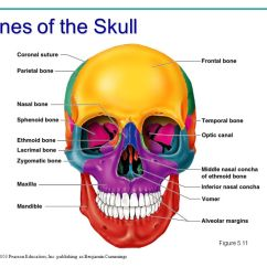 Facial Bones Diagram Not Labeled Solar Array Wiring Structure, Function, And Diseases - Ppt Video Online Download