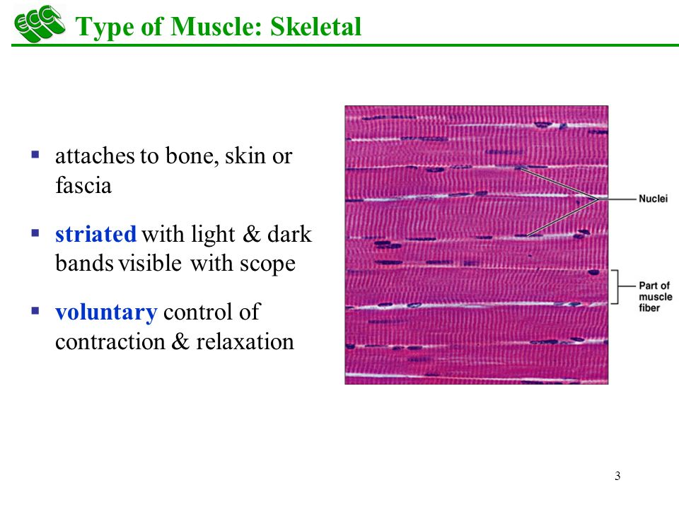 muscle fiber diagram detroit ddec ii wiring overview skeletal cardiac smooth - ppt download