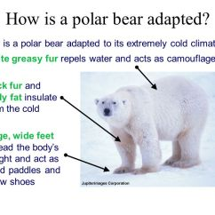 Polar Bear Fur Diagram Pit Bike Stator Plate Wiring Examples Of Selection In Action - Ppt Download