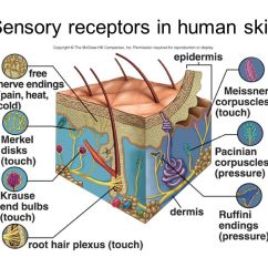 Human Taste Buds Diagram Mr Heater Thermostat Wiring Chapter 18: The Senses. - Ppt Video Online Download