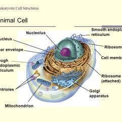 Eukaryotic Animal Cell Diagram Of Human Cartoon Ch 3 Structure - Ppt Download