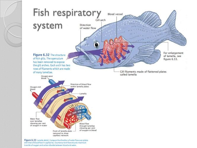 Fish respiratory system diagram the best fish 2018 diagram of body ans from back unique fish respiratory system ccuart Images