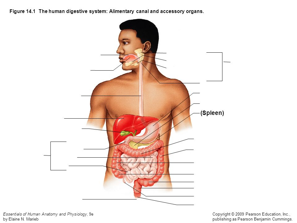 blank digestive system diagram to label motorcycle remote start wiring figure 14.1 the human system: alimentary canal and accessory organs. (spleen) - ppt ...