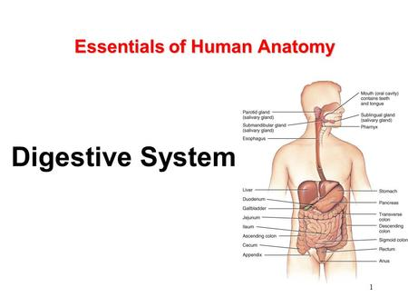 Mckinley And O Loughlin Human Anatomy Digestive System Ppt