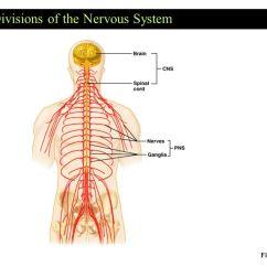 Basic Neuron Diagram 2007 Isuzu Npr Radio Wiring The Nervous System Communication Ppt Video Online Download