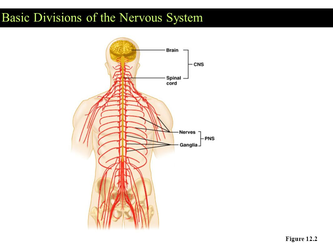basic neuron diagram 4 wire 220 volt wiring the nervous system communication ppt video online download