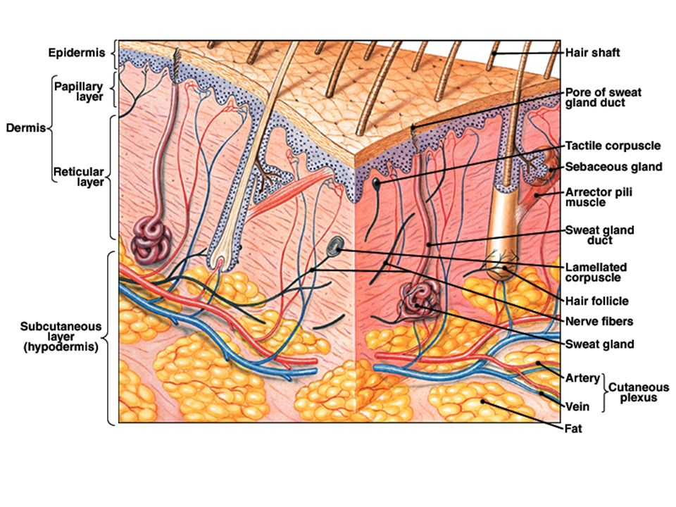 dermis layer diagram wiring for 7 pin caravan socket integumentary system exercise # 8 page#73 - ppt video online download