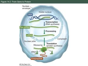 From DNA to Protein: Gene Expression  ppt download