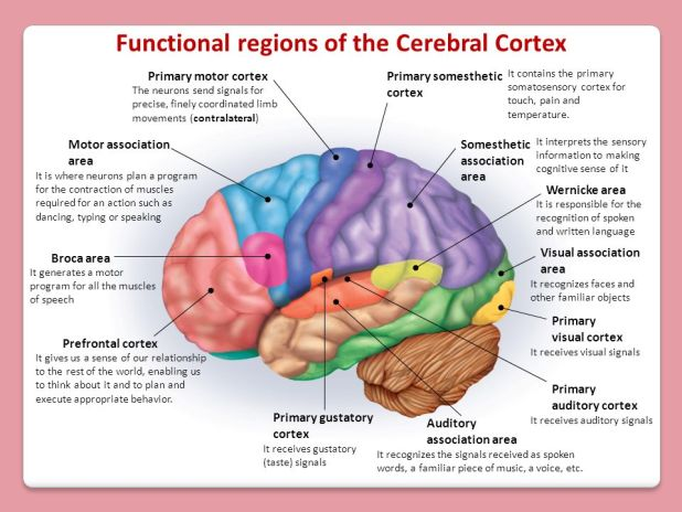 Motor Cortex And Somatosensory Cortex Are