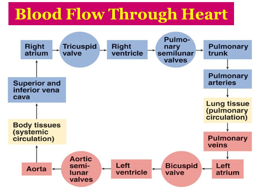 Human Heart Diagram Blood Flow With The Right Atrium Beginning