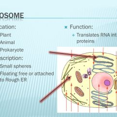 Lysosome Cell Diagram Frigidaire Ice Maker Wiring Organelles Organized. - Ppt Video Online Download