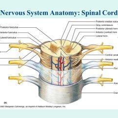 4 H Pig Diagram 3 Way Switch Wiring Nervous System Anatomy: Neuron - Ppt Download