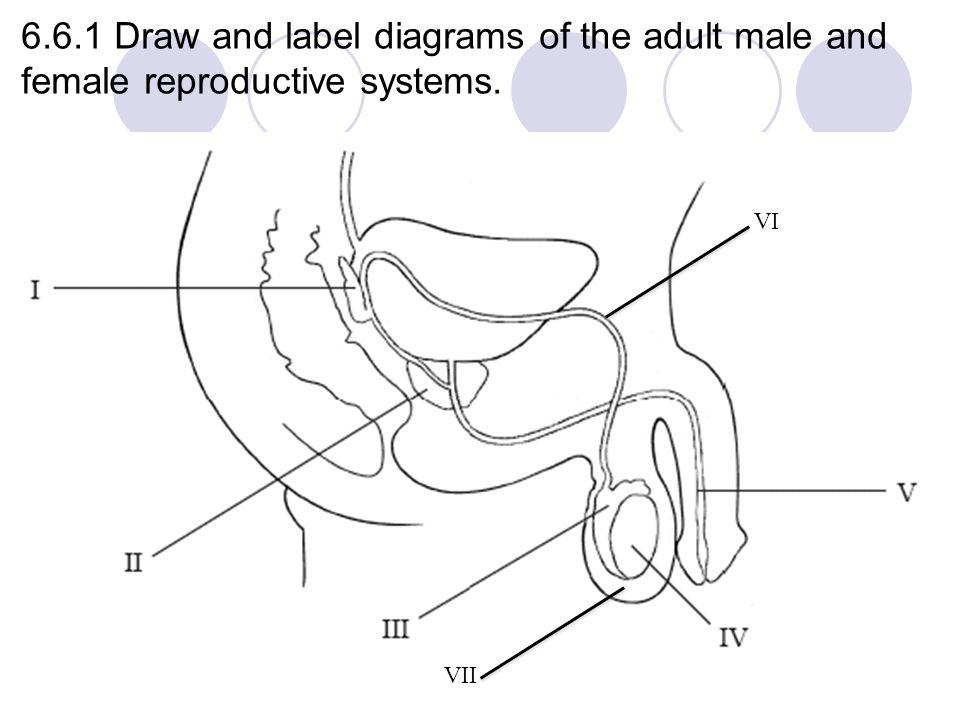 Drawing Of Reproductive Organs Male / ciplatadalafil.info