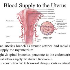 Menstrual Cycle Diagram With Ovulation 1997 Jeep Tj Stereo Wiring Female Reproductive System - Ppt Video Online Download