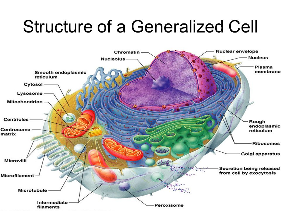 animal cell diagram with functions welder plug wiring structure of a generalized - ppt video online download