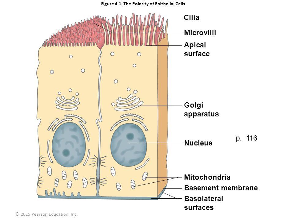 golgi apparatus structure diagram directv whole home dvr setup figure 4-1 the polarity of epithelial cells - ppt video online download