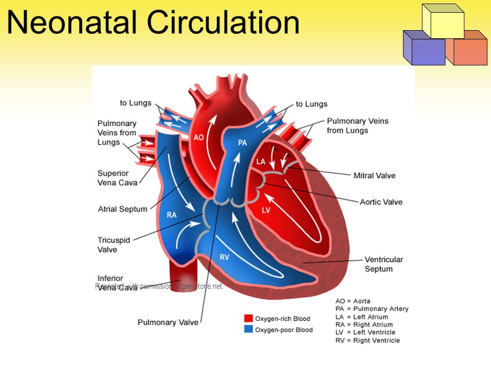 heart diagram inside telephone wall jack wiring foundations of neonatal care - ppt video online download