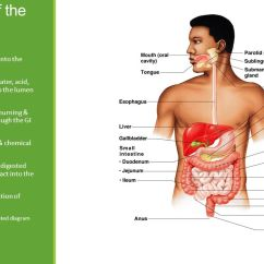 Anterior Teeth Diagram John Deere Z425 Wiring The Digestive System By: Mariegrace Ganut. - Ppt Download