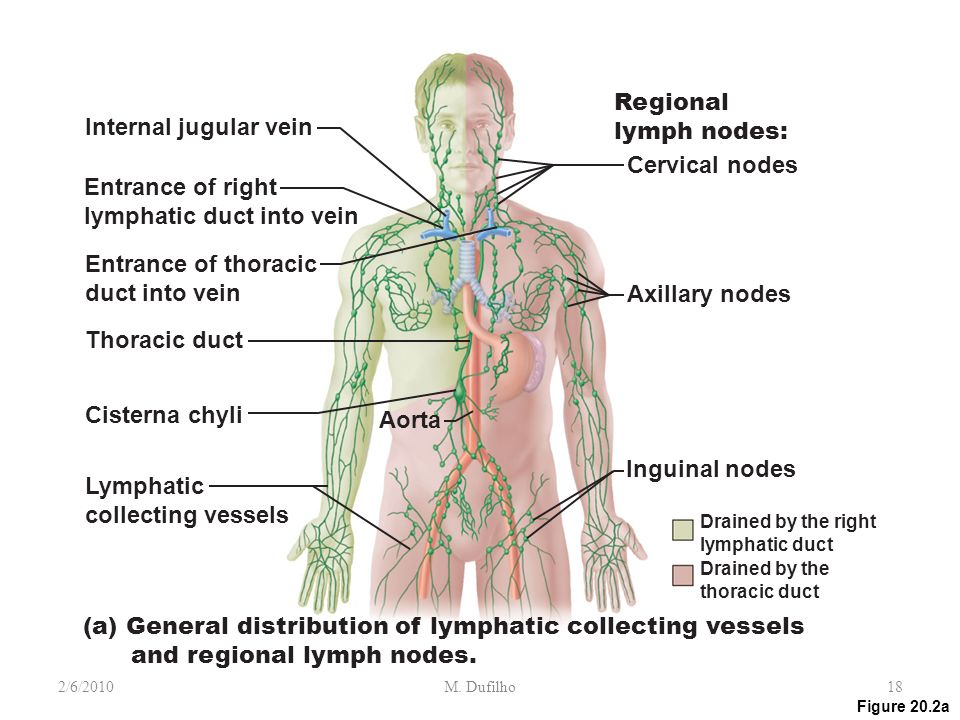 Lymph Vessels And Regional Lymph Collecting