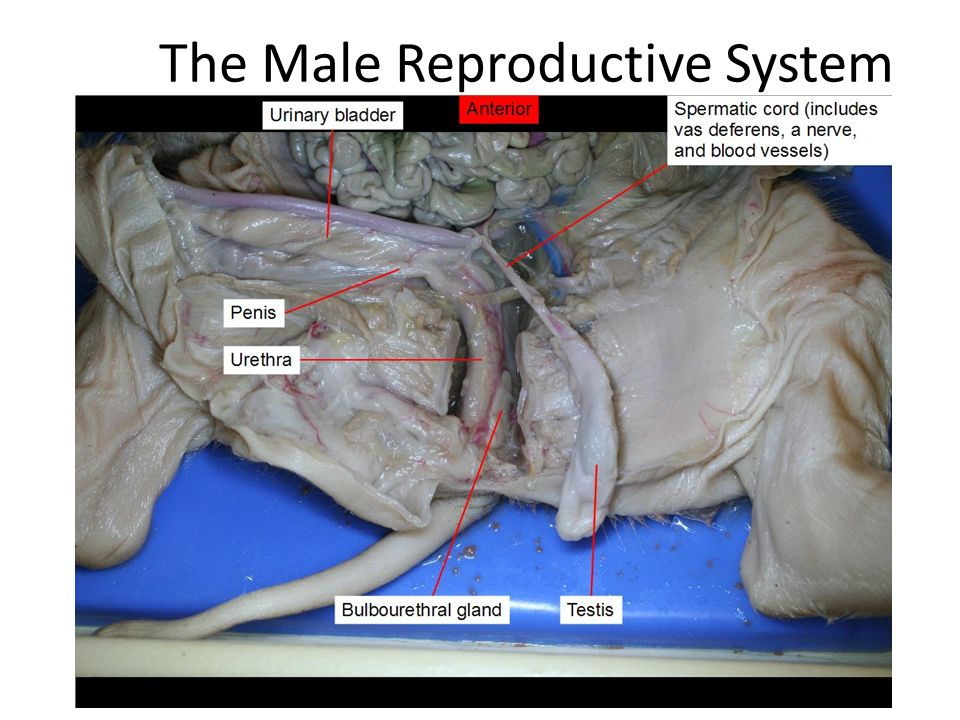 Fetal Pig Male Reproductive System