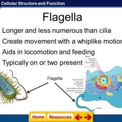Cilia Animal Cell Diagram Carrier Wiring Thermostat Endoplasmic Reticulum Golgi Apparatus Vacuole Lysosome