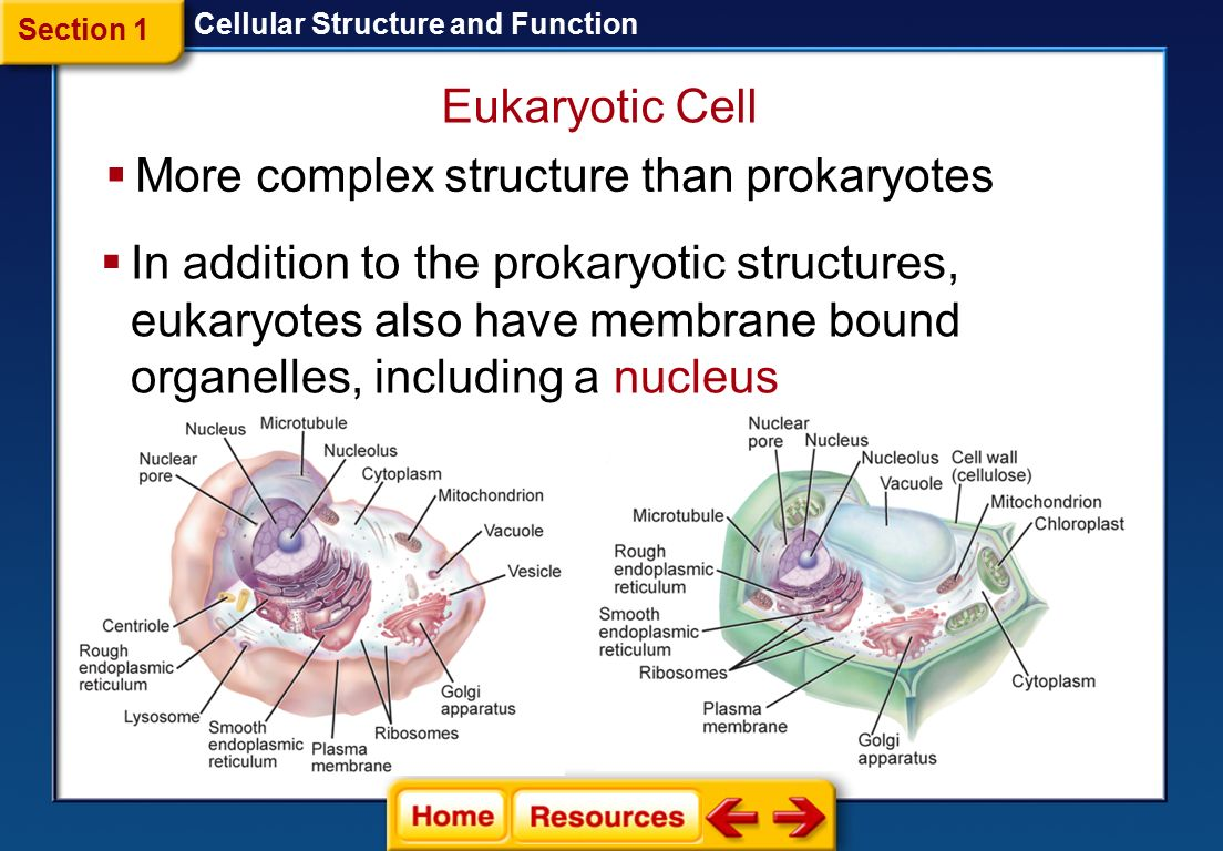 eukaryotic endomembrane system cell diagram wiring 7 pin trailer connector endoplasmic reticulum golgi apparatus vacuole lysosome
