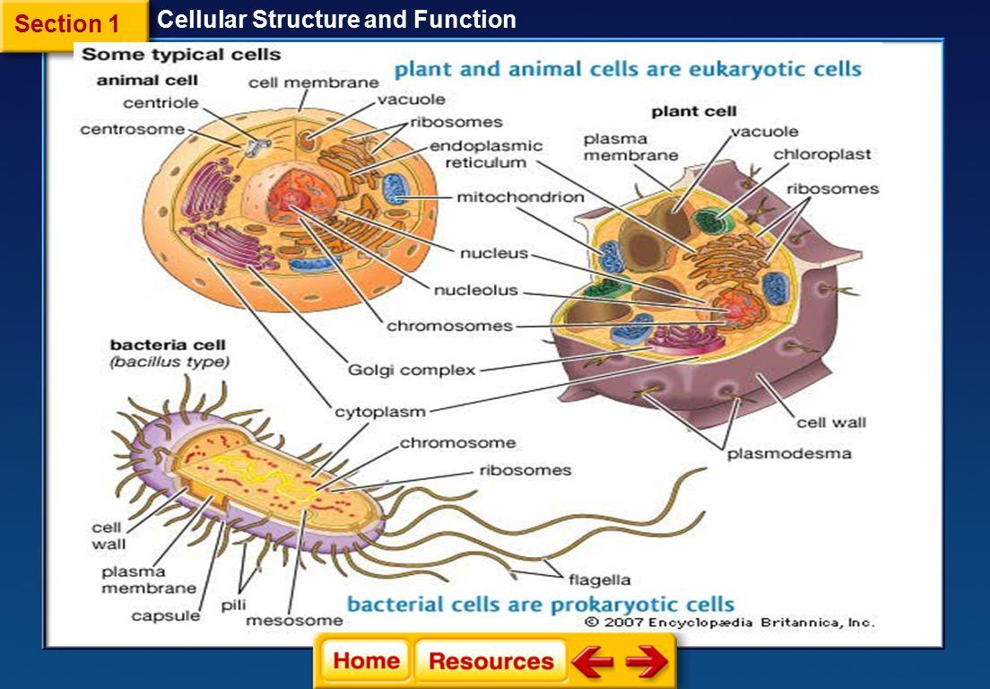 endoplasmic reticulum animal cell diagram 2005 ford escape xlt stereo wiring golgi apparatus vacuole lysosome