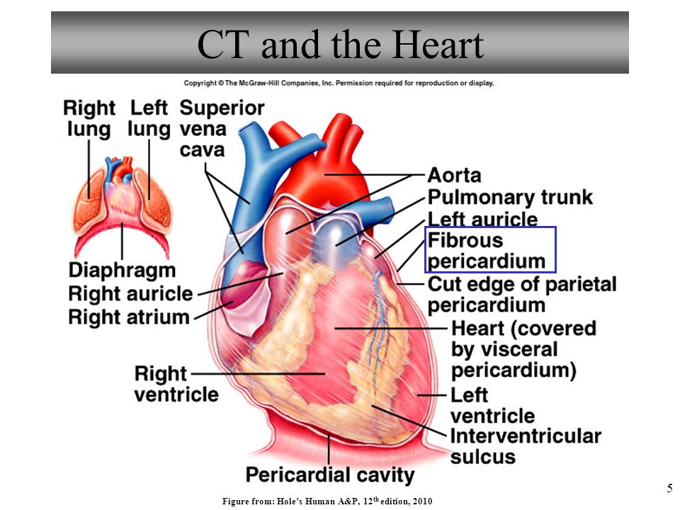 Hole S Human Anatomy And Physiology Heart Diagram - Auto Electrical ...