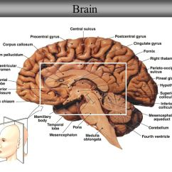 Brain And Spinal Cord Diagram Spider Food Chain Neuron/spinal Histology Anatomy Sheep Dissection - Ppt Video Online Download