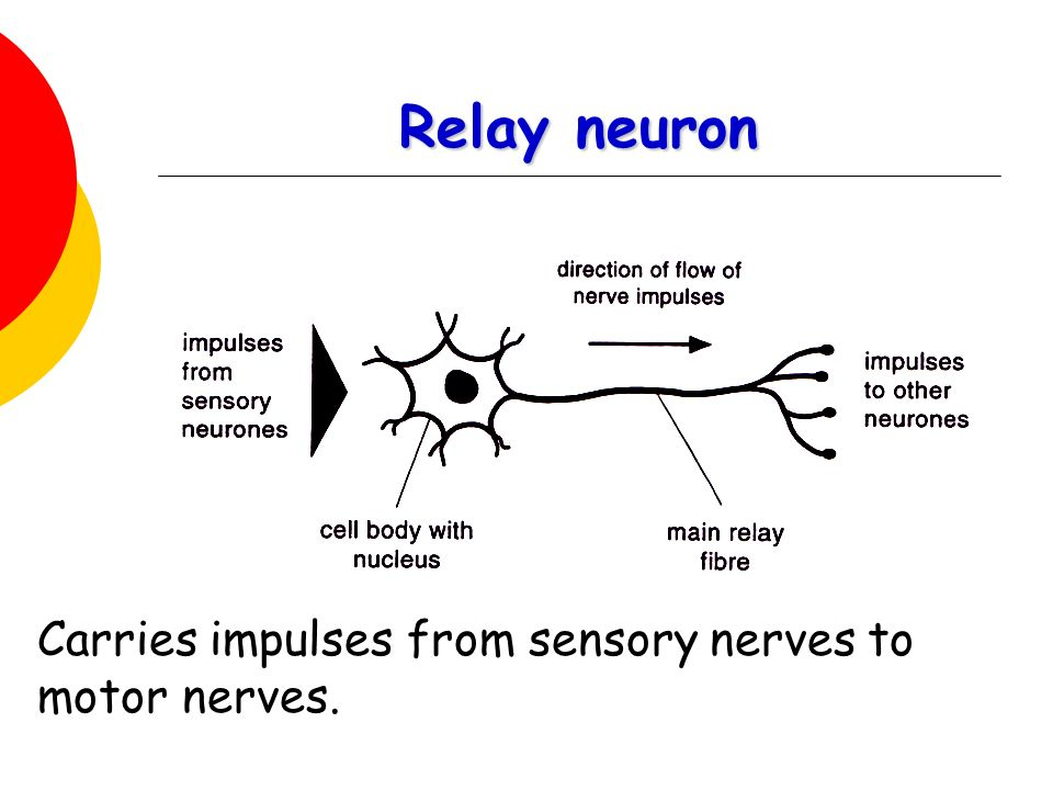 basic neuron diagram whole house wiring nervous system by the end of lesson you should be able to - ppt video online download