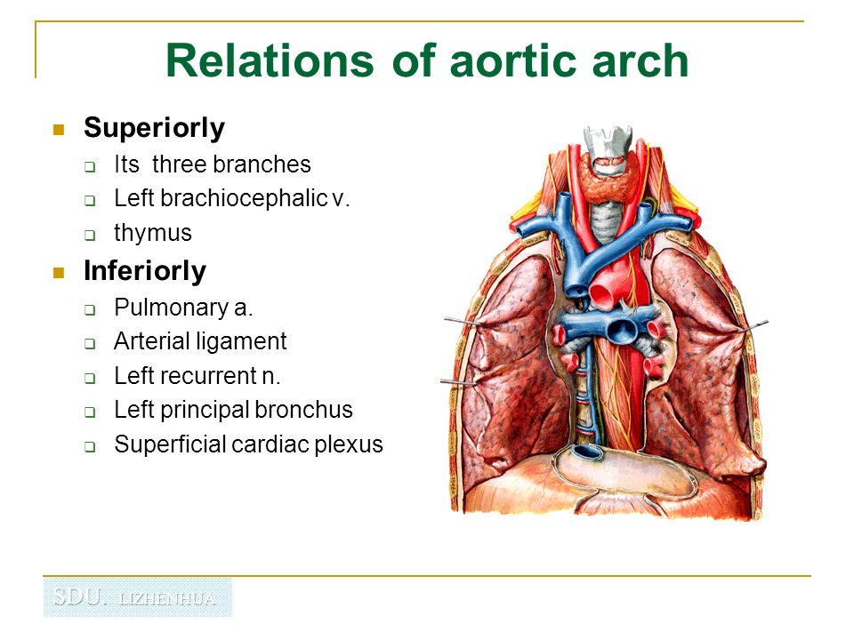 Descending Thoracic Aorta Anatomy