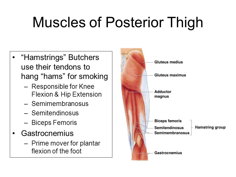 knee diagrams anatomy of a ford focus wiring diagram 2006 muscular system - ppt video online download