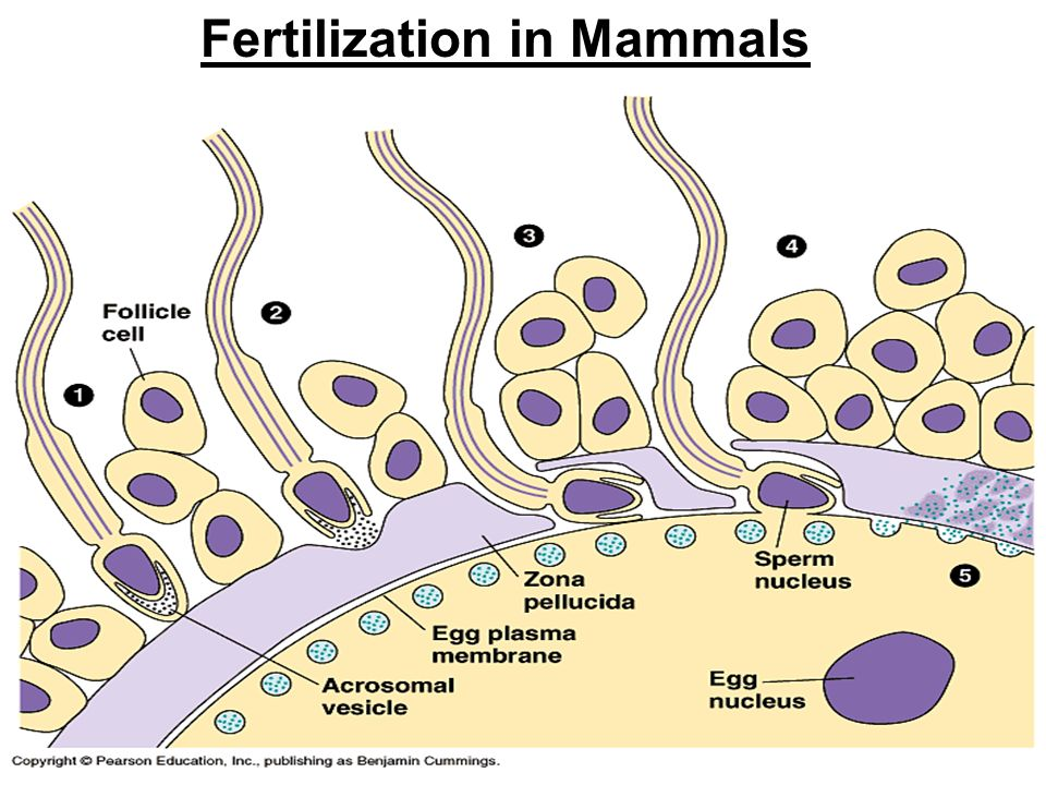 Embryo Frog Stage 14
