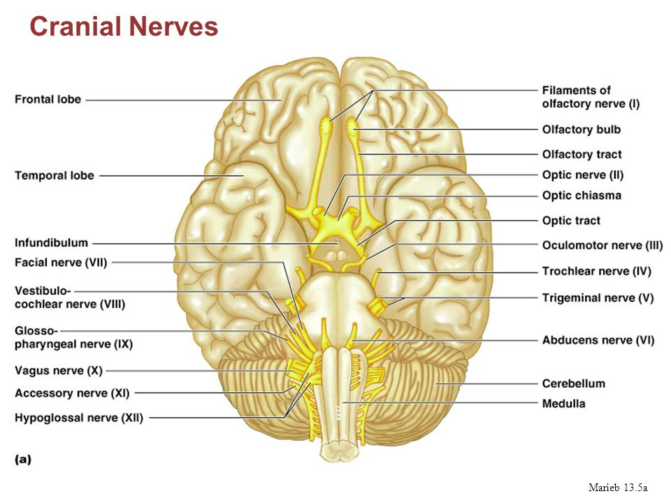 lateral view sheep brain diagram yamaha golf carts oklahoma nervous system marieb ppt video online download