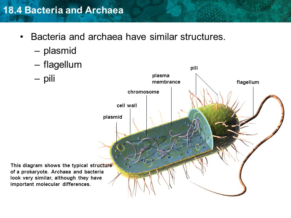 gram positive cell wall diagram wiring diagrams for guitar humbuckers key concept bacteria and archaea are both single-celled prokaryotes. - ppt video online download