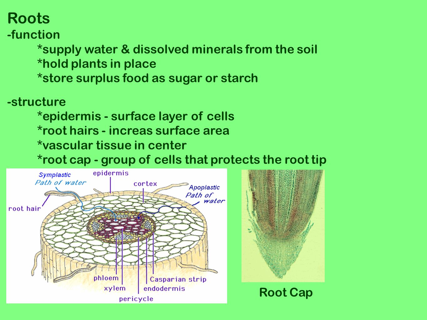 plant root hair diagram 1984 ford f150 starter solenoid wiring structures of seed plants ppt video online download