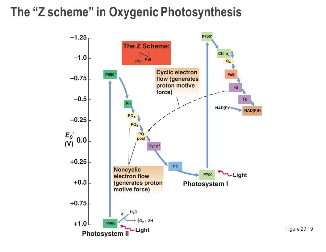 photosynthesis z scheme diagram parts of an animal cell chapter 20 metabolic diversity phototrophy autotrophy