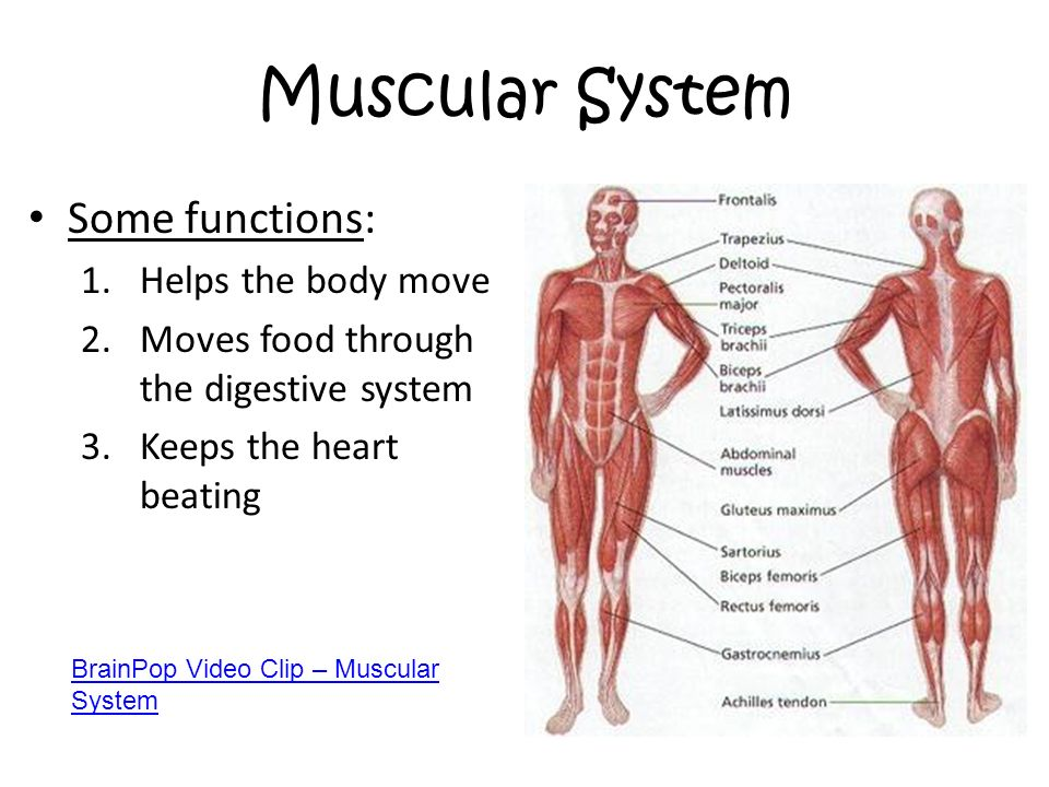 Types Of Muscle Groups Diagram