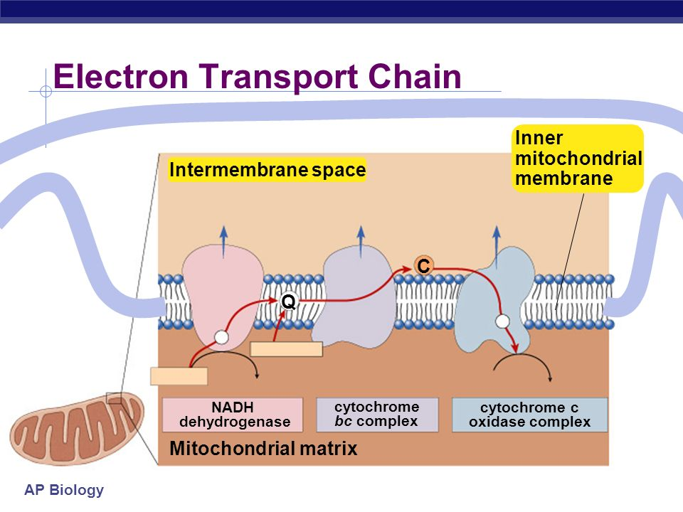 explain krebs cycle with diagram telecaster wiring 2 humbucker cellular respiration stage 4: electron transport chain - ppt download