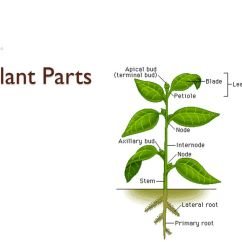 Plant Root Hair Diagram Lutron Wiring Diagrams Parts. - Ppt Video Online Download