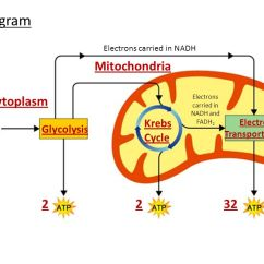 Photosynthesis And Cellular Respiration Cycle Diagram Gm 3 Wire Alternator Cell Energy (photosynthesis Respiration) Notes - Ppt Download