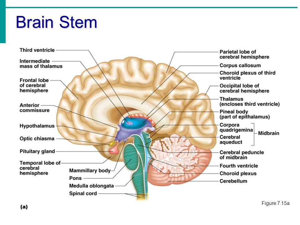 unlabeled skull diagram inferior view 78 shovelhead wiring the nervous system. - ppt video online download