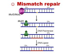 DNA REPAIR  ppt video online download
