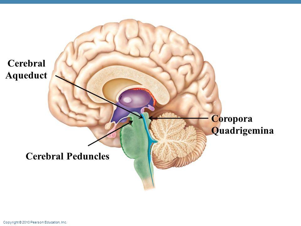 Cerebral Peduncle