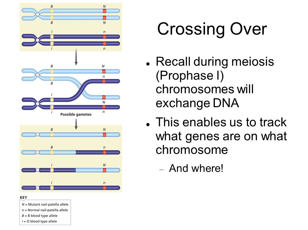 6 chromosomes crossing over diagram 1995 toyota camry engine genomes and genomics ppt video online download