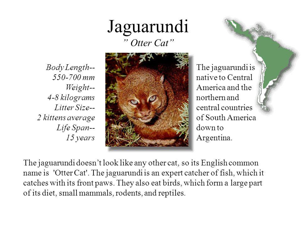 Size Jaguarundi
