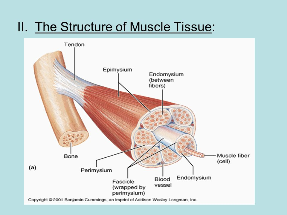 muscle fiber diagram brain tumor movement analysis. - ppt video online download