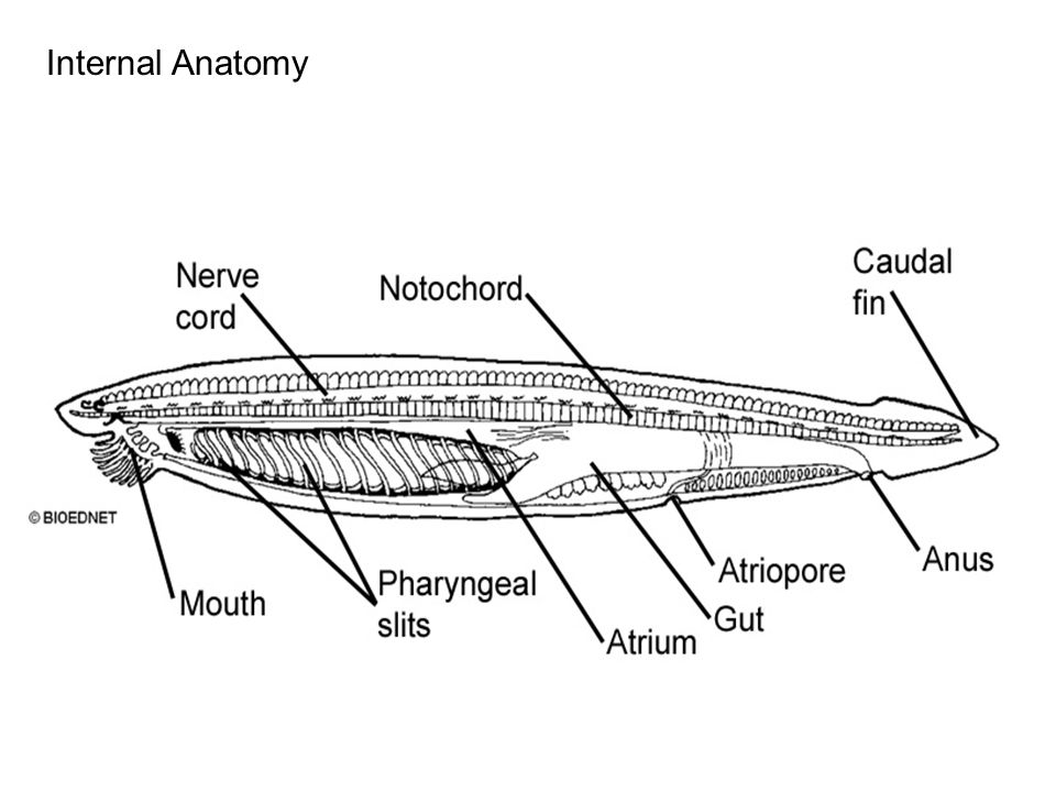 Sea Lamprey Diagram. Perfect Sea Lamprey Diagram With Sea